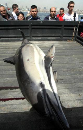 Üsküdar sahilinde ölü yunus balığı bulundu. Yunus balığı itfaiye ekipleri tarafından karaya çıkarıldı.
